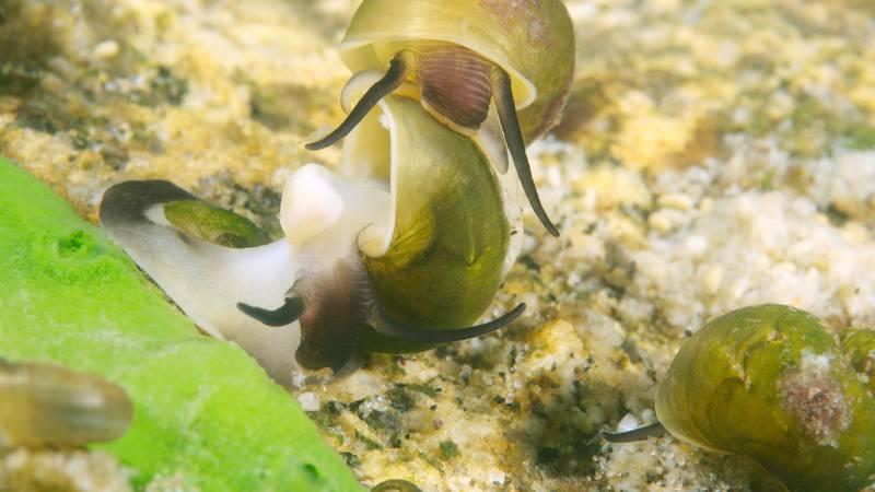 Zatopljavanje dijelova istočnog Mediterana dovodi do nestanka izvornih populacija mekušaca